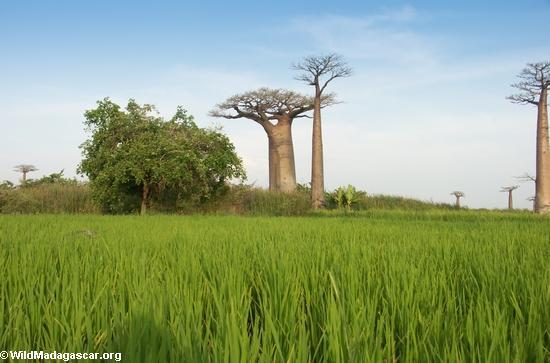 http://namadagaskare.ru/img/pages/Тропические влажные леса